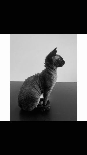 177) VACKRA Doris - hon som hittades svag & övergiven men idag är stark & älskad. En katt med stor personlighet som öppnade mitt hjärta för rasen Devon Rex ♥️ Foto: Sandra Johansson