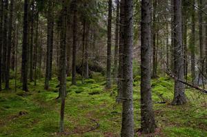 Granskogen i våra hjärtan.