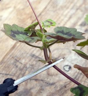Klipp av ett skott från moderväxten. Se till att sticklingen har två, tre blad. Foto: Ulf Axelson/arkiv