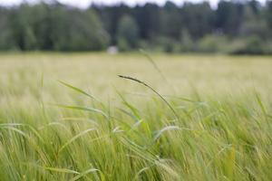 Hur ska framtidens ogräsbekämpning gå till?