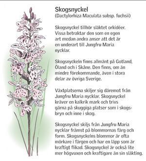 Skogsnyckel (Klicka för större bild)Illustration: Kjell Nilsson-Mäki
