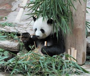 Matdags för pandan på Chiang Mais zoo i Norra Thailand