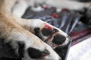 En av 10 vargar som obduceras är illegalt skjutna eller visar gamla skottskador.