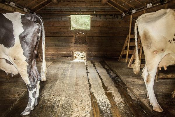 Kor i fjôset på Östvallen.  Korna bor inne på nätterna för att slippa knott och mygg. Det är ett undantag från Kravs-regler på utomhusvistelse. Fjösets fönster är försett med myggnät.