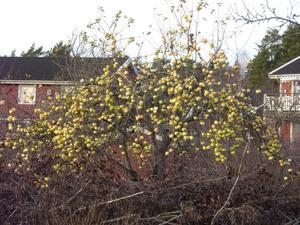 Imponerandes mycket äpplen kvar på trädet 2011-12-03Bilden fångad i Knivsta vid genomfart.