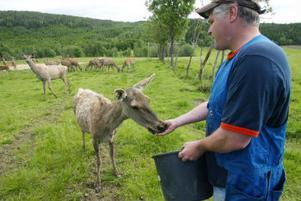 En av hjortarna är så tam att hon äter ur handen. Lars-Olof har stor respekt för sina djur.