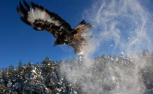 Kungsörnen i länet håller på att växa till sig från en spillra till en livskraftig stam tack vare den hjälp framför allt unga fåglar fått att klara sina första vintrar och hinna lära sig jaga.