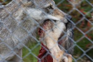 Varghanen bär iväg bakbenen och en del av ryggen på den döda vargvalpen.