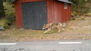 En ung varg på stråt drog uppmärksamheten till sig i Nor, Söderbärke, på torsdagsförmiddagen. Att det är en varg, och inte en hund på rymmen, bekräftas av kände vargexperten Olof Liberg vid Grimsö Forskningsstation i Riddarhyttan.