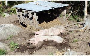 Grisar, får, kor, kalvar och kvigor befolkar fäboden. Grisarna slaktas i samband med älgjakten i fäbodens slakthus.