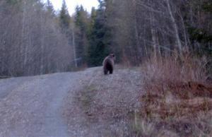 Efter trädklättringen kom björnen upp på vägen igen något hundratal meter längre fram.