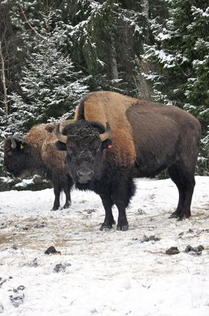 Bisonoxen kan väga över ett ton.