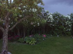 ljuvlig svensk trädgård på kvällskvisten, innan regnet kom !!