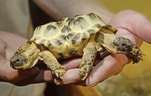 Tvåhövdad sköldpadda i Ukraina.