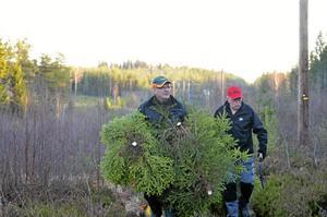 Julgranar. Varje år får klubben hugga julgranar i skogsbolagens ledningsgator, här Jan-Erik Persson och Ingemar Larsson.