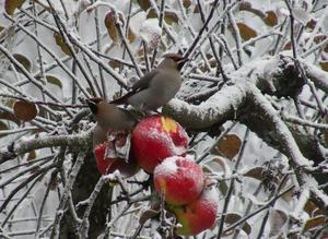 Röda vackra äpplen sitter kvar i träden, mums för sidensvansar och andra fåglar
