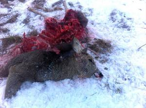 Natten mot tisdagen rev ungvargen ett rådjur mitt inne i Storsjö Kapell.