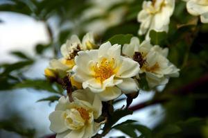 Väldoftande. Honungsrosens vita blommor är en fröjd för ögat och sprider ljuvlig doft.