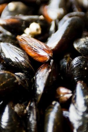 Musslor ska helst vara nyfångade. De bör inte få bo i kylskåpet mer än en dag.