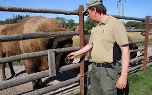 Det är bara Rickard Wiklund som kan och får gulla med visenterna. Tjuren Aburr väger ett ton och kan lätt skada någon. Foto: Eva Högkvist