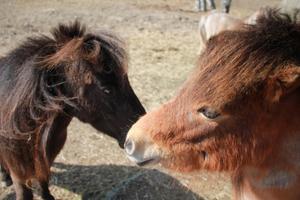 På gården i Ubby föder Monika Swedstrand upp amerikanska miniatyrhästar. Hästen som fullvuxen får inte vara över 86,4 centimeter i mankhöjd enlig rasstandard.