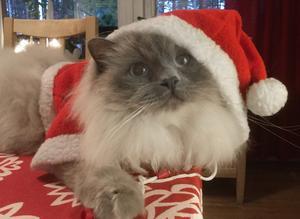 Veronica Åbergs birmakatt Zolo provar sin nya tomtedräkt inför årets julfirande. Dräkten har han fått av sin lillmatte Elsa. Zolo är en mycket social tvååring som gillar att vara med där det händer!
