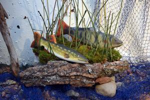 Dagny Olssons fiskar lurar i vassen i det gamla strömakvariet.