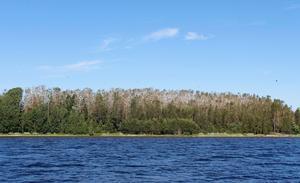 Skarven har snart fördärvat hela den stora Gistaholmen men i år är det ett hot från ovan som ställer till det för de fiskfrossande fåglarna – havsörnen.
