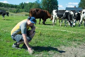 Betesmarken på gården utanför Bjästa är rejält torr och det finns ont om mat till korna.