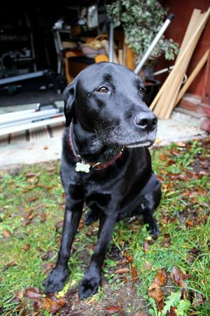 Hunden Hobbe är 10 år gammal och har varit med Johan i åtta år.