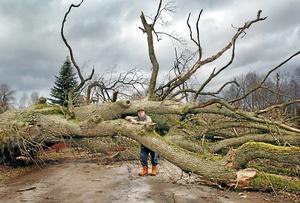 Stormen Gudrun 2005 fällde den gamla eken som stått nästan från Adam och Evas tid på Gunnar Jonssons släktgård i Tångerda utanför Vetlanda.