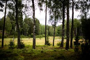 I skogsgläntan skymtar fjällkorna.
