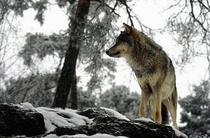 Sex vargar får skjutas i Dalarna, enligt länsstyrelsens beslut.