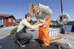 Torsken kan inte föröka sig i för sött vatten – eller? I södra Östersjön är salthalten upp till 15 promille medan det bara är 7,5 i Ålands hav. Ändå finns det ganska gott om torsk här och de är välmående, vilket de inte är söderut. Forskare Ulf Bergström och doktorand Isa Wallin tar reda på varför genom att konstbefrukta torskrom.