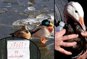 Upptäcker du misstänkt sjuka fåglar i det vilda eller anläggning för tamfåglar, agera. Fågelinfluensa är mycket smittsamt.Foto: TT/Montage