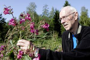 Det var många år sedan den nu bortgångne botanisten och experten på Ångermanlands flora, Jan Mascher, varnade för att klimatförändringen innebär att vissa arter, som här jättebalsamin, kan öka i utbredning på ett oönskat sätt.