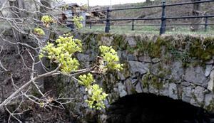 Grundkonstruktionen till Järle bro är mellan 190 till 260 år gammal, visar Leif G:son Nygårds forskning. Bron i sin helhet är ett fornminne och då den är sammanbyggd med dammen  går det inte att separera dammen från bron utan att skada viktiga delar av brokonstruktionen. Foto: Michael Landberg