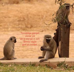 Under vistelsen i Sydafrika glömde Åke att stänga dörren när han gick in för att hämta vatten. Vips sprang en apa in i huset och stal ett äpple.