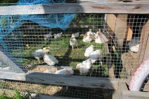David och Eliza är nästan helt självförsörjande på mat, det här är deras källa för kött. Buren flyttas med jämna mellanrum så kycklingarna få nytt gräs att påta i.  Paret har också 50 höns som ger cirka 20 ägg om dagen.
