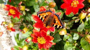 En sommarbild på en nässelfjäril. Bild: Anita Rickardsson