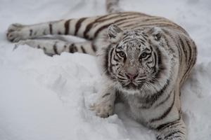 Junsele djurparks vita tigrar har inga problem med snön.