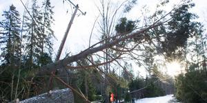 Träd föll som plockepinn under stormen Alfrida. Det var många teleledningar och stolpar som drogs med i fallet.