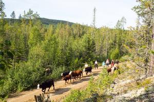 Runt 15 kilometer var det från området runt Ryggen, där korna hittades, ner till Ytterberg.