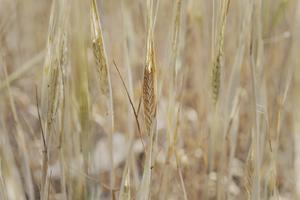 Den torra sommaren har skapat stora problem för jordbruket. Foto: Stina Stjernkvist/TT