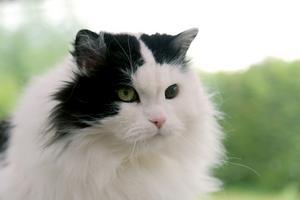 Det här är Smirre som är 16 år och och en blandning av Norsk skogkatt och perser. Han har blivit väldigt kelen och pratglad på äldre dagar och älskar fortfarande att leka. Han är husse och mattes bästa vän. Bild: Catharina Steen