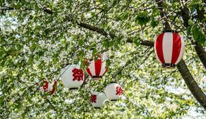 Lyktor och körsbärsblom, en japansk tradition som lever i Leksand.