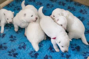 Hundvalparna är tre veckor gamla. Fyra hanar och tre tikar fick samojedmamman Indra sex år.