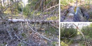 Etapp 11 av Bergslagsleden behöver rustas upp. Det ligger träd över leden, saknas spänger i våtmarker och ledmarkeringen är bristfällig. FOTO: Leif G:son Nygård