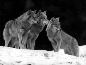 Lagen är till för att följas, gäller också regler för jakt på varg.    Foto: VLT