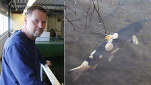Börje Sahlin vid Bergeforsens fiskodling menar att vissa år blir det mer av den dödliga sjukdomen Ulcerös dermal nekros (UDN).